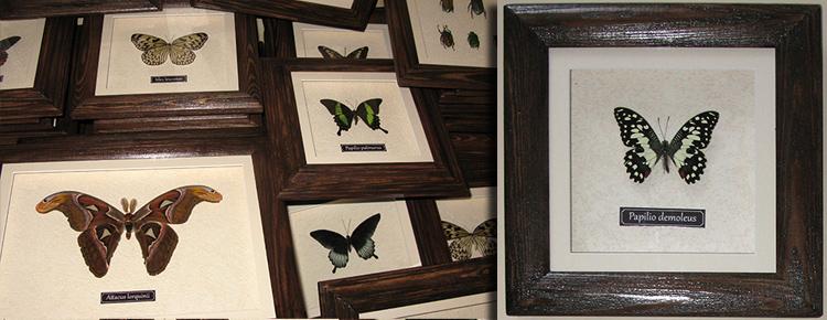 Оформление коллекции бабочек в рамки